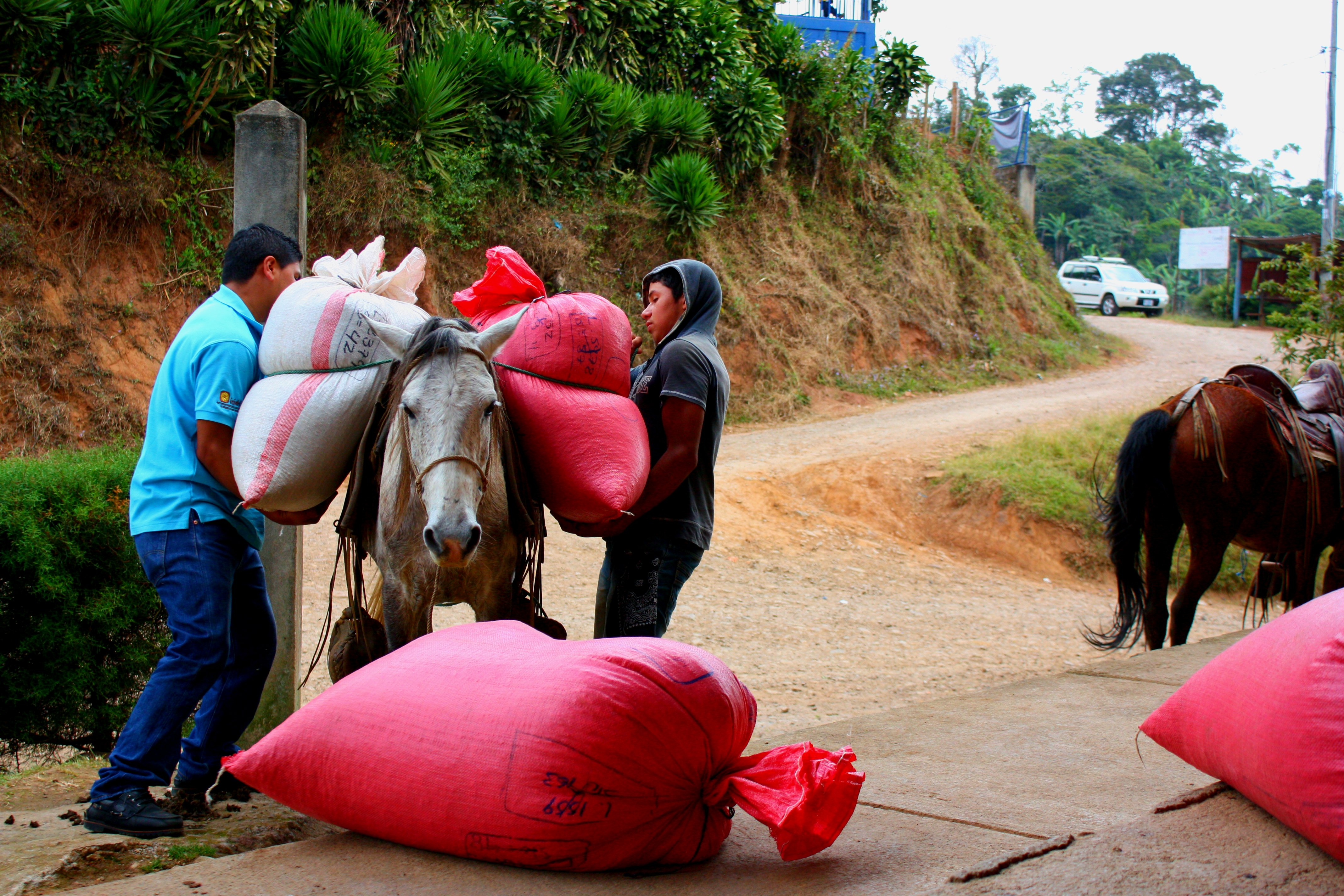 Coffee farmers unload sacks of coffee at the Solidaridad cooperative.